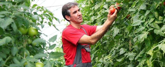 капково напояване на домати градинар градини